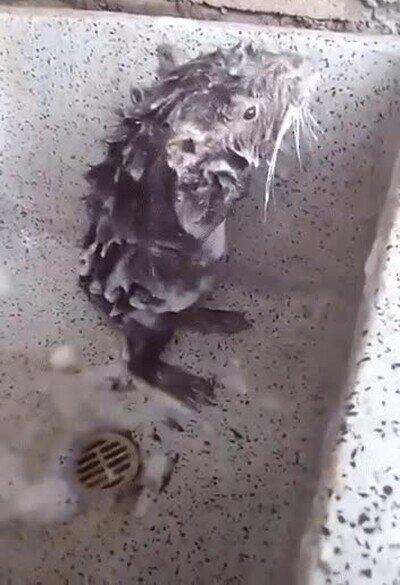 Enlace a Ser una rata no esta reñido con tener una buena higiene