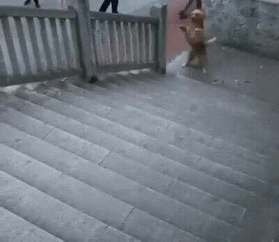 Enlace a Perros que han aprendido a andar sobre dos piernas como humanos