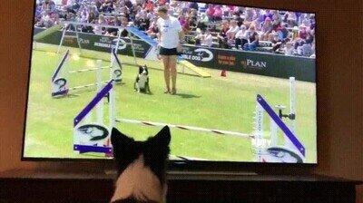 Enlace a Perro animando a su compañero en una competición