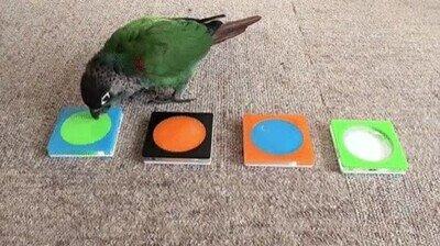 Mira cómo esta pájaro ordena por colores