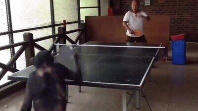 Enlace a Este chimpancé juega mejor que tú al ping pong