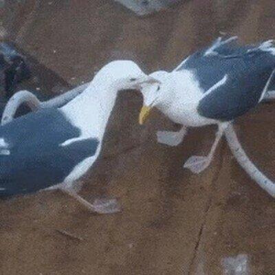 Enlace a Las gaviotas son muy retorcidas