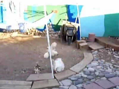 Enlace a Sabes que la cosa se está poniendo fea cuando los pollos tienen que parar una pelea entre conejos