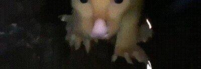 Enlace a El golden possum parece un pokémon de la vida real