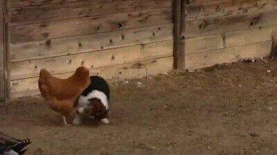 Enlace a La venganza del pato contra el perró que atacó la gallina