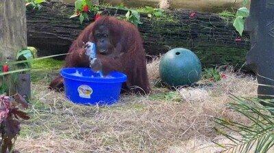 Enlace a Si hasta un mono puede hacerlo, ¿por qué no te lavas tú las manos?