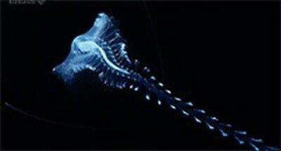 El Tomopteris, esa criatura que vive en aguas profundas y parece sacada de Alien