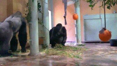 Enlace a Este gorila busca la protección de su madre tras haber hecho cabrear a su padre