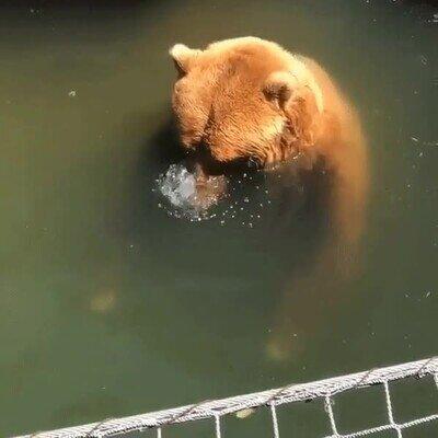 Enlace a Los osos también disfrutan haciendo burbujas con la nariz en el agua
