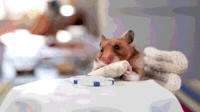 Enlace a Los hamsters cuando comen son los animales más adorables del mundo