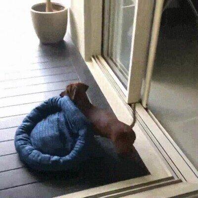 Enlace a Este perro no duda en llevarse la cama a un lugar con un poquito de sol