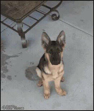 Enlace a Timelapse de un perro creciendo desde las 8 semanas hasta tener un año