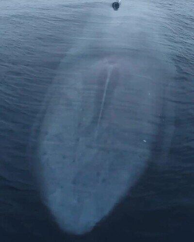 Enlace a Una de las criaturas más grandes de nuestro planeta