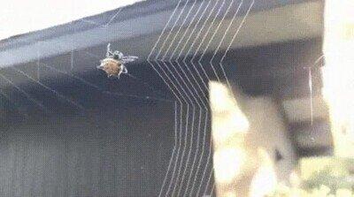Enlace a Es una pasada ver como trabaja una araña para atrapar a sus presas