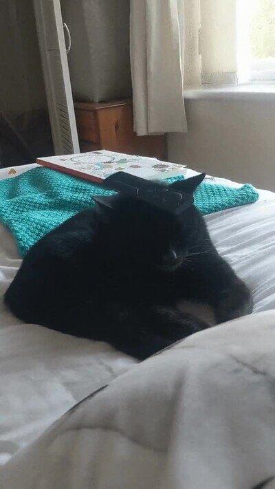 Enlace a Un gato que se duerme con un mando a distancia sobre la cabeza