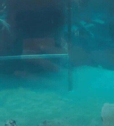 Enlace a No sabía que los cocodrilos ponían esta pose para nadar