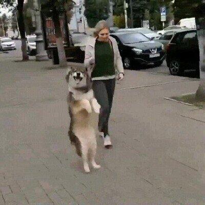 Enlace a Perros que han aprendido a caminar como humanos