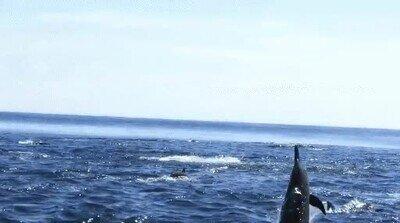 Enlace a Delfines que presumen de habilidad cuando salen del agua