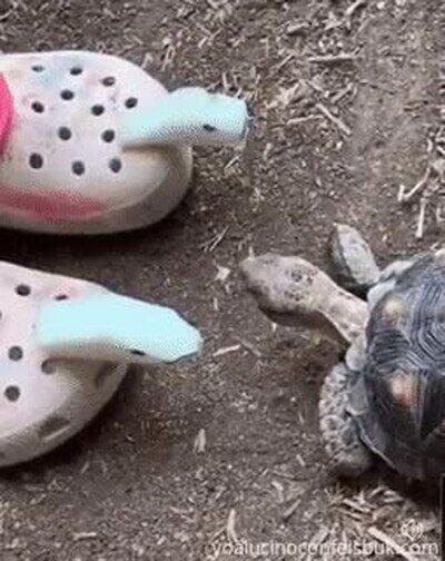 Enlace a Tortugas que están bastante salidas