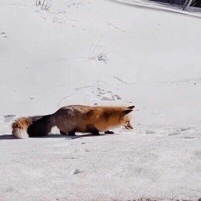 Enlace a Es una pasada ver cómo saltan los zorros para cazar en la nieve