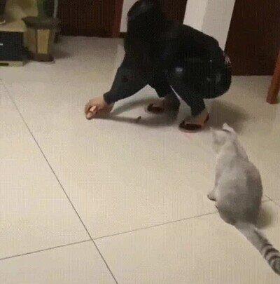 Enlace a Gatos que no saben perseguir cosas sin dar un espectáculo