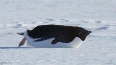 Enlace a Un pingüino deslizándose por la nieve