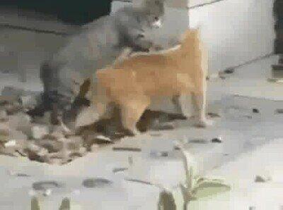 Enlace a Un gato haciendo una llave de judo