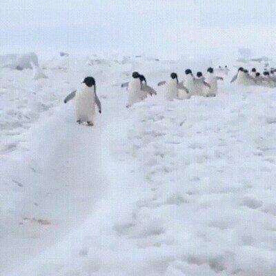 Imposible no sonreir cuando ves pingüinos caminando con prisa