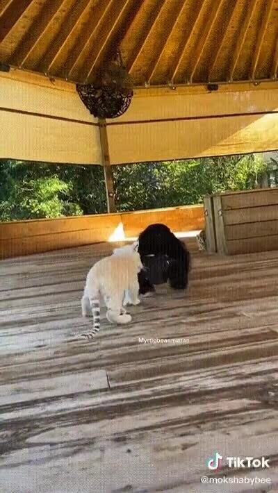 Un chimpancé jugando con dos depredadores