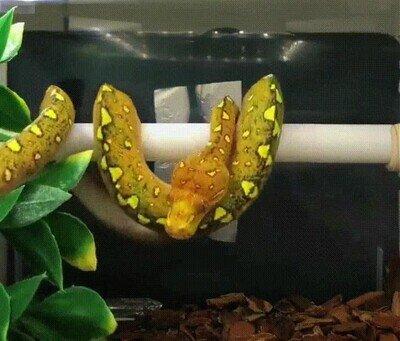 Esto es lo que hacen las serpientes antes de echarse una siesta