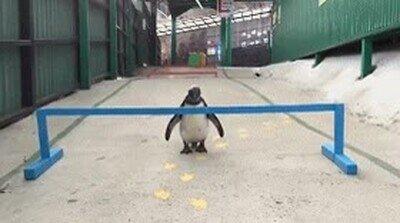 Enlace a Los pingüinos son excelentes saltadores