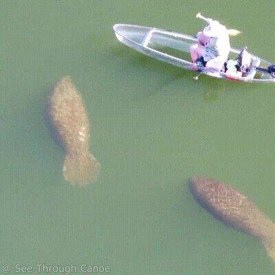 Enlace a Hay tráfico de manatíes en las aguas de Florida