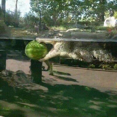 Enlace a Solo un cocodrilio y su sandía