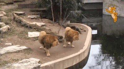 Enlace a Hasta los leones cometen errores tontos