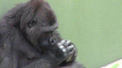 Enlace a Un gorila jugando de forma curiosa con una mariposa