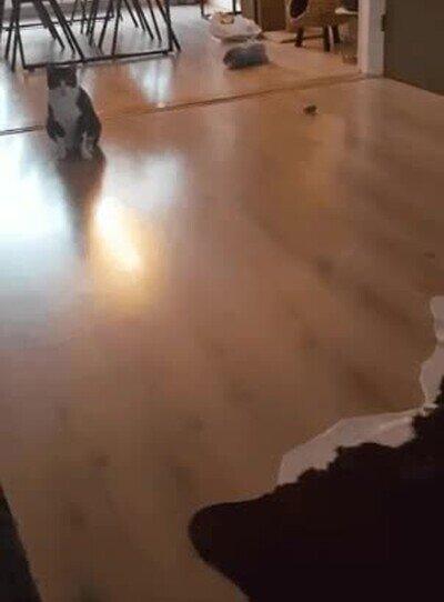 Enlace a Este gato es mejor portero que De Gea
