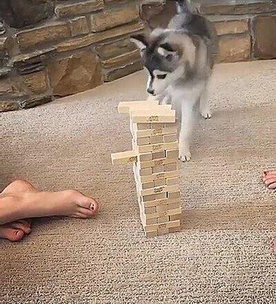 Enlace a Un perro que ha aprendido a jugar a Jenga