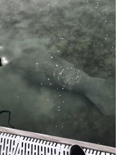 Enlace a Un manatí tirándose un pedo debajo del agua