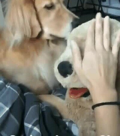 Un perro muy celoso de un peluche