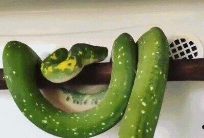 Una serpiente que se acomoda para dormir