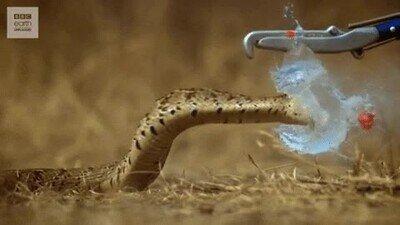 Enlace a Una serpiente atacando un globo a cámara lenta