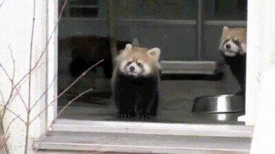 Enlace a Pobre, menudo susto se lleva el panda rojo