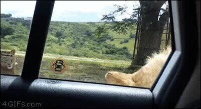 Enlace a Leones que han aprendido a abrir la puerta de los coches