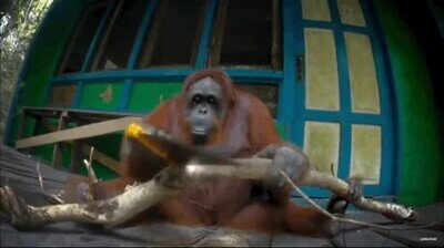 Enlace a Un orangután intentando romper una rama con una sierra