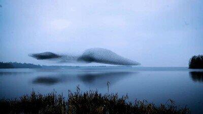 Enlace a Es una pasada cómo los estúrnidos se mueven como un pájaro gigante