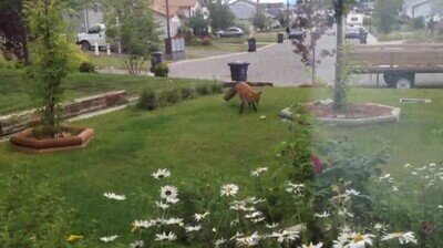 Enlace a Un zorro jugando en el jardín de una casa cualquiera