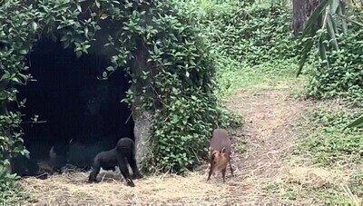 Enlace a Un bebé gorila intentando hacer nuevos amigos