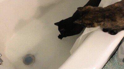 Enlace a Gatos explorando la bañera con toda la cautela del mundo