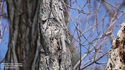 Enlace a Un búho perfectamente camuflado en el árbol