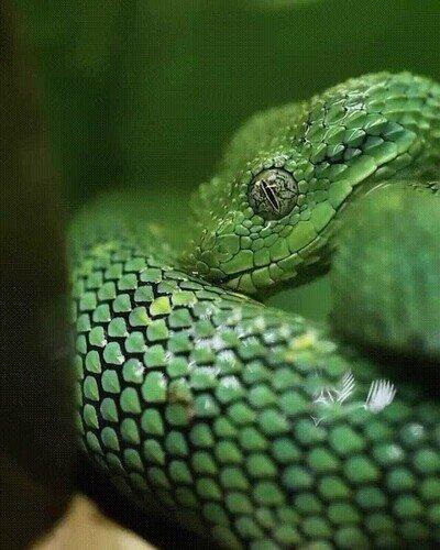 Una serpiente bebiendo agua almacenada en su piel